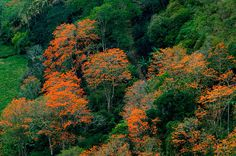 Malinche trees, Costa Rica