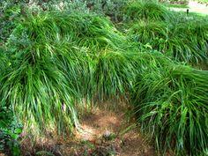 Carex Wahuensis - grown in masses