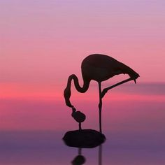 """See how the sacred old flamingos come, painting with shadow all the marble steps:  Aged and wise, they seek their wonted perches Within the temple, devious walking, made to wander by their melancholy minds""  William Butler Yeats"