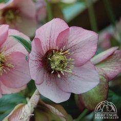 Helleborus × Hybridus 'Appleblossom'