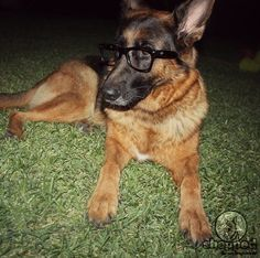 Training Lesson 21: How to teach your German Shepherd to wear glasses. No, we're kidding! :) Visit our website and find out how to teach your GSD basic voice commands: https://www.shepped.com/teach-voice-commands/ #gsd #germanshepherd #dogs #shepped