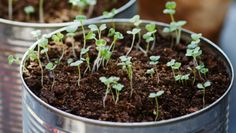 Fast growing vegetables in recycled tin cans