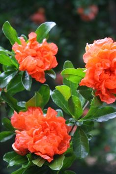 Carrot Top Flowering Pomegranate for sale buy Punica granatum 'Carrot Top'
