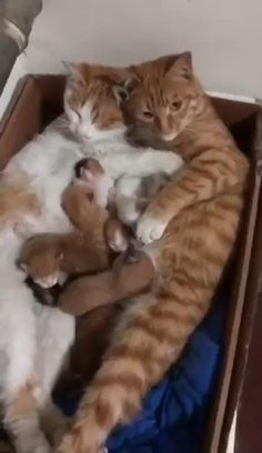Animals Discover A Cat Family in their Cardboard Box Home Funny Cute Cats, Cute Baby Cats, Cute Little Animals, Cute Cats And Kittens, Cute Funny Animals, Kittens Cutest, Ragdoll Kittens, Tabby Cats, Funny Kittens