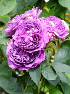 Hybrid Perpetual Rose - Reine des Violettes.  France 1860.  A dark ,vibrant shade of purple. Strongly perfumed. Likes a shady spot in the garden.