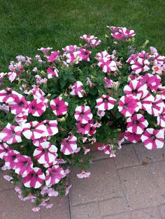 Candy Cane Petunias - Superstore