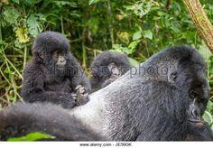Gorila de montaña del bebé en un Silverback en el parque nacional de Virunga, República Democrática del Congo.  - Imagen de archivo