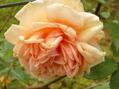 Madame Jules Gravereaux Lussemburgo, Soupert Notting, 1901. Questo rampicante dal ricco fogliame verde scuro, presenta fiori molto doppi gialli con sfumature pesca e salmone leggermente profumati. Una rosa abbastanza inconsueta e raffinata. m 4,00x2,00.