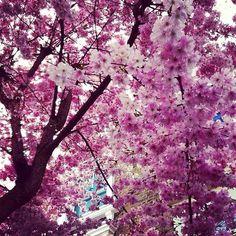 Blossoms, Campden Hill, London