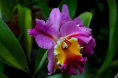 Orchid at Sarasota Botanical Gardens