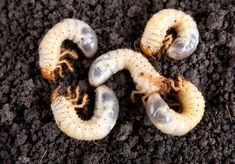 Find Maybug Larvae Soil Background Melolontha Vulgaris stock images in HD and millions of other royalty-free stock photos, illustrations and vectors in the Shutterstock collection. Eco Green, Garden Yard Ideas, Gardening Tips, Decoration, Photo Editing, Backyard, Stock Photos, Plants, Nature