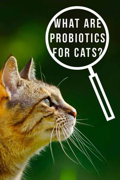 Probiotics For Cats - A Complete Guide To Probiotics And Cats Probiotics For Cats, What Are Probiotics, Cat Care Tips, Dog Care, Cat Diseases, Cat Health Care, Cat Work, Outdoor Cats, Pet Life