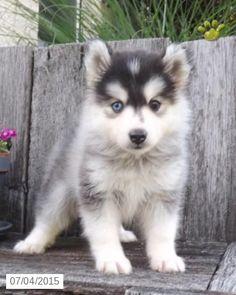 pomsky dog full grown size