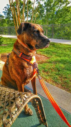 """This is my Plott mix, """"Girlfriend,"""" wearing Chai's Choice Pet Products 27""""-32"""" Best Front Range No-Pull Dog Harness, Large, Orange : Pet Supplies   Amazon.com"""