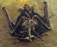 Bat from the Eocene of Messel Pit, Germany Pokemon Regions, Detroit Motors, Beautiful Rocks, Bats, Geology, Fossil, Evolution, Shells, Germany