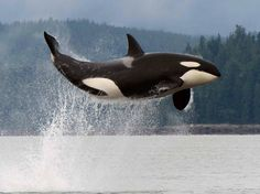 British Columbia. Orca in the wild - as it should be. See the movie Blackfish - definitely Oscar material!