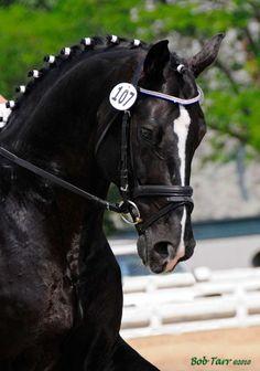 LORD FERRAGAMO  200517hh BayRheinlanderStallion standing at Saint Louis Equestrian Center  CWHA Approved