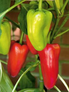 Sweet Red Peppers are Easy to Grow