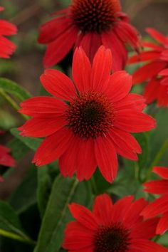 This is just the Perennial your garden or containers need. Order Echinacea SOMBRERO® Salsa Red - (Coneflower) online from Garden Crossings.