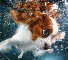 Monty, a 6-month-old Cavalier King Charles Spaniel, swimming.