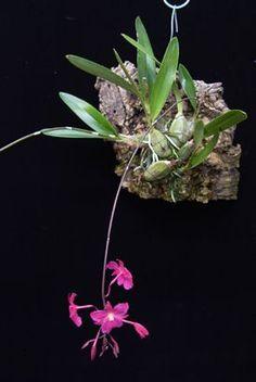 Broughtonia sanguinea