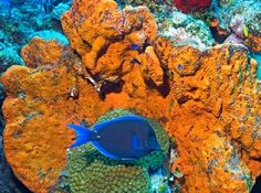 Common Reef Fish of Florida and the Caribbean: Blue Tang