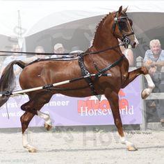 Dutch Harness Horse Fantijn