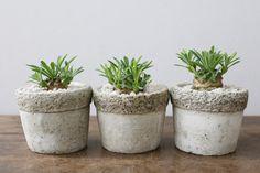 ユーフォルビア・峨眉山(ガビサン)/ Euphorbia hyb ' Cocklebur ' ( bupleurifolia x susannae )