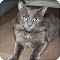 Domestic Mediumhair Cat for adoption in Toronto, Ontario - Samson So sweet. Incensewoman