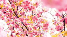 xpx Beautiful Flowers Wallpaper Blossom  for