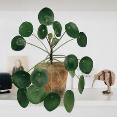 Pilea - die Trendpflanze!