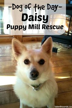 meet-our-dog-of-the-day-daisy-a-puppy-mill-rescue