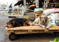 Stray dogs in Valparaiso, Chile | Snapped near the downtown … | Flickr