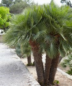 Fan Palm Tree | European Fan Palm for Sale | Fast Growing Trees
