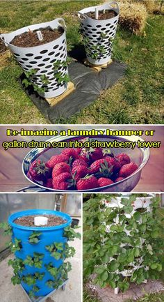 Saving Space Ideas for Growing Strawberries Re-imagine a laundry hamper or gallon drum can into a strawberry tower.Re-imagine a laundry hamper or gallon drum can into a strawberry tower. Strawberry Tower, Strawberry Garden, Strawberry Planters Diy, Strawberry Plant Care, Strawberry Hanging Basket, Diy Gardening, Organic Gardening, Gardening Supplies, Pallet Gardening