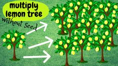 """How to multiply your lemon tree without seeds! An ideal way to have your favorite tree as many """"clones"""" as you want. You can do it at any tree you want. Easy and for sure. Good luck!!! Organic Gardening, Gardening Tips, Grafting Fruit Trees, Seeds, Planters, Youtube, Easy, Landscape, Lime Trees"""