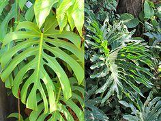 Diferença entre Monstera9 Costela de adão) e Filodentro ( Guaimbê) Minhas Plantas