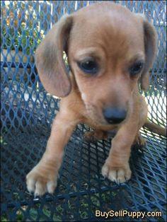 chiweenies | Chiweenie Puppies in Napa