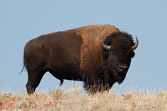 pictures+of+bison | Where to Buy Bison/Buffalo Meat