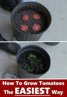 Slice your tomato and place on top of your soil, cover with about a 1/2 of soil and let germinate.