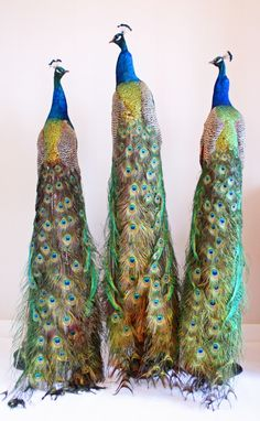 87 Best Taxidermy peacocks images in 2018 | Taxidermy
