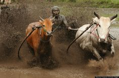 October 12th: Pacu Jawi is traditional bull racing which is held annually in Batusangkar, Indonesia. Jockeys just hold on to the tails of th...