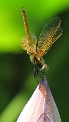 Dragonfly on lotus flower bud