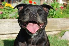 Laughing Staffy (door ImagesByClaire)