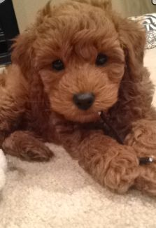 Doodles of Autumn Hills, Mini English Goldendoodles, Mini Petite Goldnedoodles Where I got Jax Mini Doodle, Doodle Dog, Animals And Pets, Baby Animals, Cute Animals, Labradoodles, Goldendoodles, Cute Puppies, Dogs And Puppies
