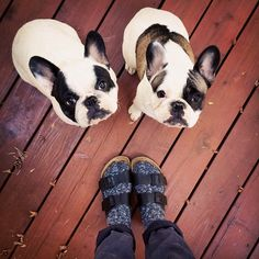 pied french bulldog brothers