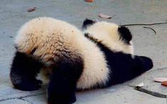 Little panda bump. Little panda bump. Baby Animal Videos, Cat And Dog Videos, Baby Animals Pictures, Cute Animal Pictures, Funny Animal Vines, Funny Animals, Funniest Animals, Wild Animals, Panda Funny