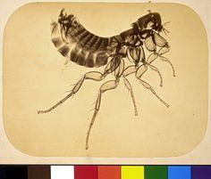 Adolphe Neyt (1830 - 1893) :: Photomicrograph of a flea, ca. 1865 I albumen print I George Eastman House Collection (macro)