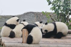 パンダ@日天記事用osada Amazing Animal Pictures, Cool Pictures, Giant Pandas, Panda Bear, Bears, Insects, Sisters, Wildlife, Kitty