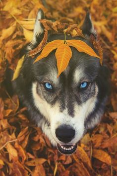 Fall time Husky